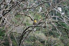 woodpecker Fotografie Stock Libere da Diritti