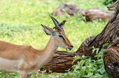 Free Woodpecker And African Impala Royalty Free Stock Photo - 159029895