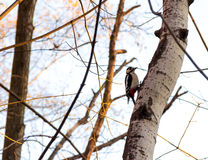 Woodpecker on the birch tree trunk in sunset light Royalty Free Stock Image