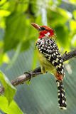 Woodpecker bird Royalty Free Stock Images