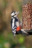 Woodpecker on bird feeder Royalty Free Stock Image