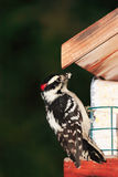 Woodpecker at bird feeder Stock Images