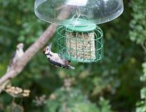 Woodpecker on bird feeder Stock Image