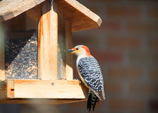 Woodpecker on bird feeder Royalty Free Stock Image