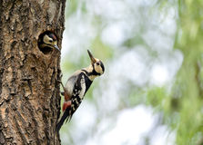 Woodpecker Royalty Free Stock Images