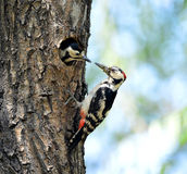 Woodpecker Stock Images