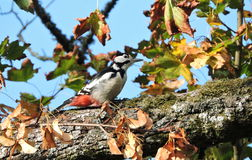 Woodpecker bird Stock Image