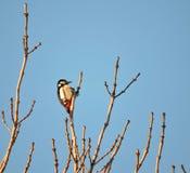 Woodpecker bird on tree branch Royalty Free Stock Photos