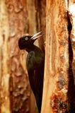 Woodpecker black Royalty Free Stock Photos
