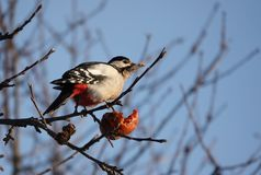 Woodpecker on a branch eating an Apple stock photos