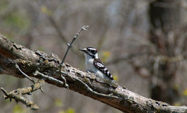 Woodpecker on the branch of tree. Stock Image