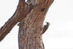 Woodpecker cardinal fotografia de stock royalty free