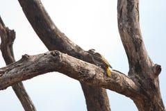 Woodpecker cardinal en un árbol imágenes de archivo libres de regalías