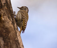 Woodpecker cardinal fêmea que escala um registro Fotografia de Stock