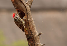 Woodpecker cardinal picotant Image stock