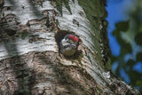 Woodpecker chick looks astonished at the vast world Royalty Free Stock Photos