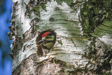 Woodpecker chick looks astonished at the vast world Royalty Free Stock Photography