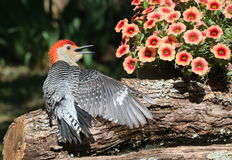 Woodpecker Conversation. A red-bellied woodpecker sits on a tree branch with one wing spread and his beak open. He is looking at a basket of pink petunias as royalty free stock photo