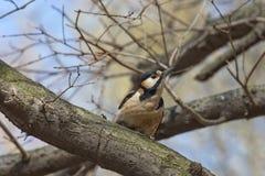 Woodpecker curioso em uma filial Fotografia de Stock