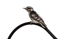 Woodpecker Curve Stock Photo