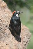Woodpecker da bolota (formicivorus do Melanerpes) em um coto com um amendoim Fotografia de Stock