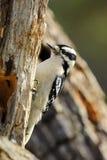 Woodpecker de Downey   Imagem de Stock Royalty Free