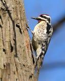 Woodpecker de Downey Imagem de Stock