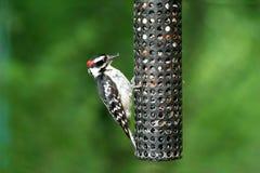 Woodpecker de Downey Foto de Stock Royalty Free