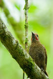 Woodpecker de Lineated Imagens de Stock
