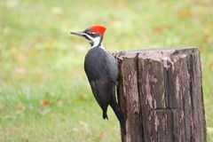 Woodpecker de Pilated fotos de stock royalty free