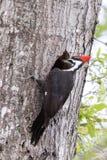 Woodpecker de Pileated Imagens de Stock Royalty Free