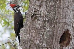 Woodpecker de Pileated Imagens de Stock