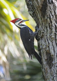 Woodpecker de Pileated Imagem de Stock Royalty Free