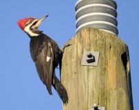 Woodpecker de Pileated Fotografia de Stock Royalty Free