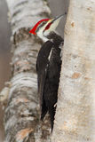 Woodpecker de Pileated Imagem de Stock