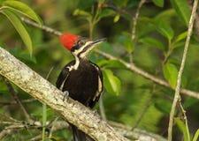 Woodpecker de Pileated (pileatus de Dryocopus) Fotografia de Stock