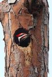 Woodpecker de Pileated (pileatus de Dryocopus) Fotografia de Stock Royalty Free