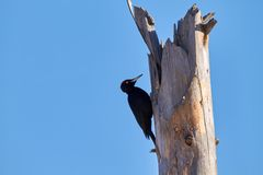 Woodpecker on deadwood Royalty Free Stock Images