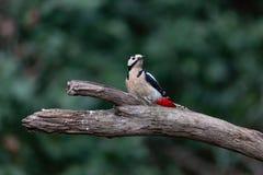 woodpecker dendrocopos большой главный запятнанный стоковые изображения