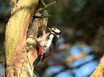 woodpecker dendrocopos большой главный запятнанный Стоковые Фотографии RF