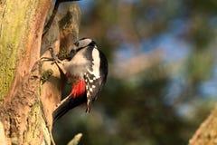 woodpecker dendrocopos большой главный запятнанный Стоковые Фото