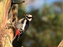 woodpecker dendrocopos большой главный запятнанный Стоковая Фотография RF