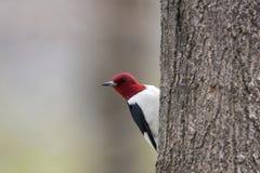 Woodpecker dirigido vermelho Foto de Stock Royalty Free