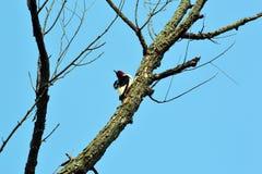 Woodpecker dirigido vermelho Foto de Stock