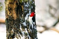 Woodpecker dirigido vermelho que adere-se à árvore na neve Imagens de Stock Royalty Free