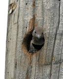 Woodpecker do bebê Foto de Stock Royalty Free