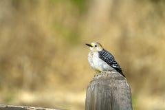 Woodpecker Dourado-fronteado, aurifrons do Melanerpes Fotografia de Stock