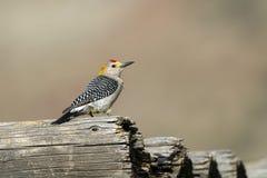 Woodpecker Dourado-fronteado, aurifrons do Melanerpes Fotos de Stock Royalty Free