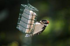 woodpecker downey Стоковое Фото