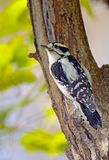 Woodpecker Downy Fotografia de Stock Royalty Free